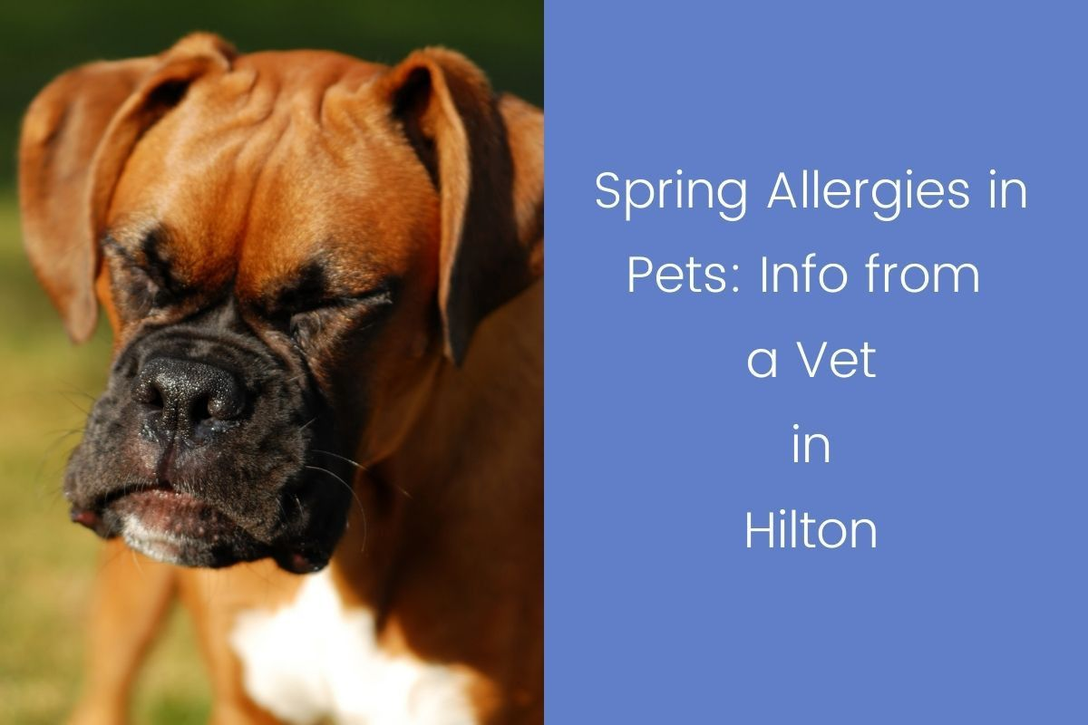 Spring-Allergies-in-Pets-Info-from-a-Vet-in-Hilton