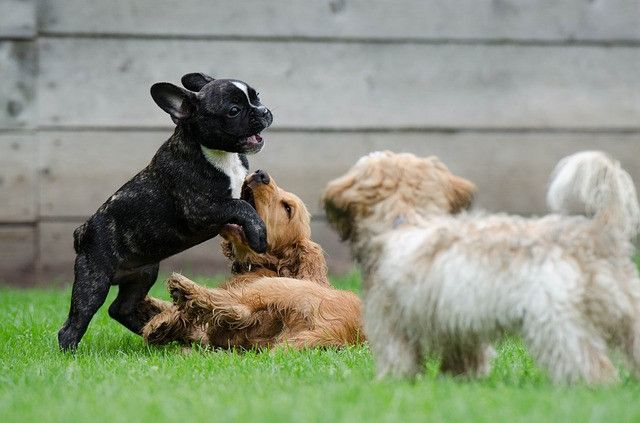 playing-puppies-790638_640
