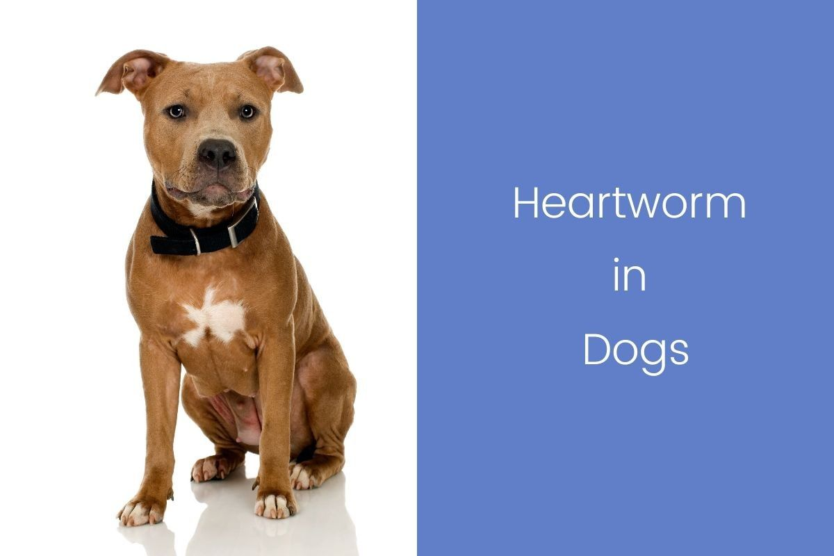 Heartworm-in-Dog_20200210-210336_1